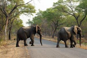 In this photo taken Oct. 1, 2015, elephants cross the road in Zimbabwe's Hwange National Park.