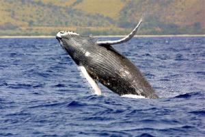 A humpback whale jumps out of the waters off Hawaii.