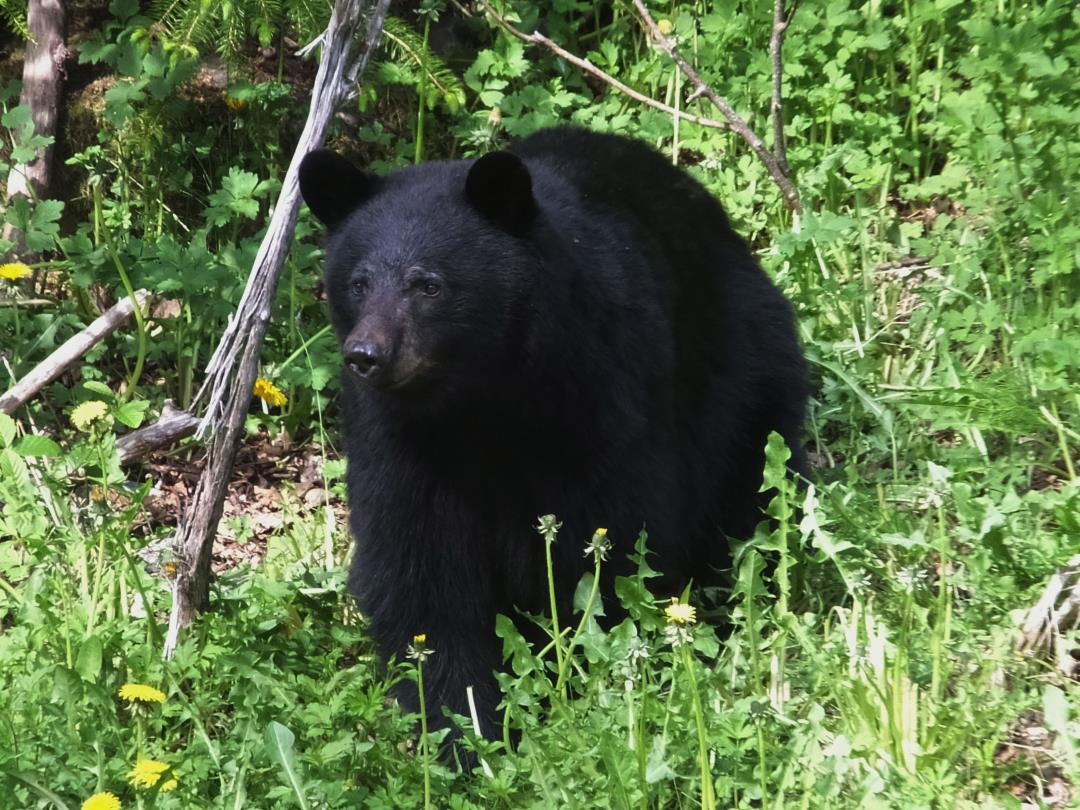 a discussion about a black bear attack