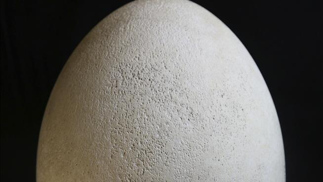 Elephant bird egg gets national attention for Buffalo museum
