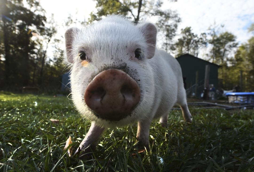 Burglar Thwarted by Family's 'Perfect' Pig