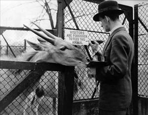 This 1936 photo shows an eland antelope at a London zoo.