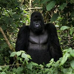 A silverback mountain gorilla is seen in the Virunga National Park, near the Uganda border in eastern Congo, Nov. 25, 2008.