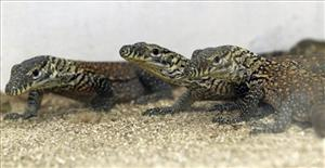 Baby komodo dragons are seen inside a terrarium at Surabaya Zoo in Surabaya, East Java, Indonesia.