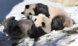 Giant pandas Tian Tian, front, and Mei Xiang wrestle and play in the snow, Dec. 6, 2007, at the zoo in Washington.