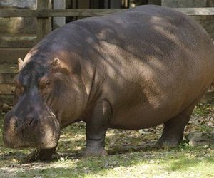 A hippo is seen in the Smithsonian National Zoo in this file photo.