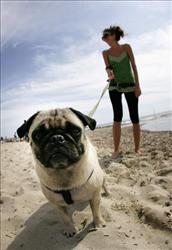A local girl walks her pug on Salinas Beach in Ibiza, Spain, June 1, 2007.