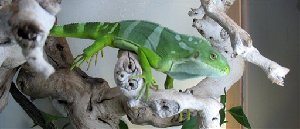 In this photo released by the U.S. Attorneys Office, a recovered Fiji Island banded iguana that was seized from a suspect's Long Beach, Calif., home by officials from the U. S. Fish and Wildlife Service is shown Friday Sept. 21, 2007. Prosecutors allege the suspect, Jereme James, stole three...