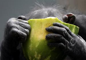A chimpanzee buries its face in a large piece of a watermelon at Taronga zoo in Sydney, Australia, Wednesday, Dec. 2, 2009.