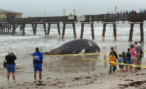 Every time a whale washes up, it becomes a political mess, said Joe Cordaro, a Long Beach-based biologist with the National Marine Fisheries Service.