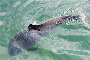 Porpoises fled an area in a 12-mile radius of the wind farm project during construction, a new study has found.