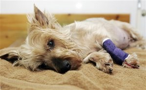 Pebbles, the Yorkshire terrier that became a symbol of the national pet food scare is shown in this, March 21, 2007 file photo, at Collett Veterinary Clinic in Los Angeles. Pebbles died Thursday while being treated for kidney failure that developed after she ate some of the suspect food. (AP...