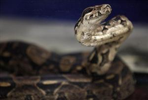 A boa constrictor similar to this one killed its owner in his suburban Omaha home.