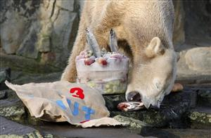 Polar bear Knut eats his birthday presents in his outdoor enclosure in the zoo in Berlin, Saturday, Dec. 5, 2009. Knut received an ice cake decorated with fish for his 3rd birthday.
