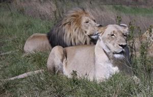 In this photo taken Saturday, April 10, 2010, a lion and lioness lay alongside one another in the Lion and Rhino Reserve near Johannesburg.