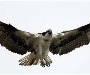 A file photo of an osprey, or sea hawk.