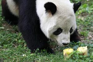 This July 7, 2010 file photo shows Tian Tian, one of the National Zoo's pandas, checking out two fruit popsicles on a hot summer day at the zoo in Washington.