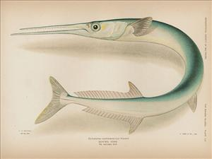 A drawing of a Tylosurus crocodilus, or Hound Fish.