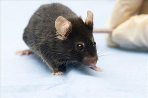 Scientists have used enzyme injections to reverse the aging process in mice.