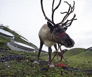 File photo of a reindeer.