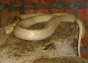 The victim bought the albino cobra and two other snakes in Pennsylvania.