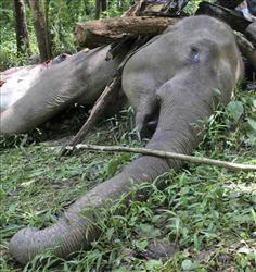 A female wild elephant lays dead at the Sukna Forest, in the eastern Indian state of West Bengal, in 2008. Forest officials said the elephant and her calf were likely poisoned.