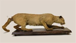 This 2006 photo provided by the State Museum of Pennsylvania shows the taxidermy of the Eastern Cougar.