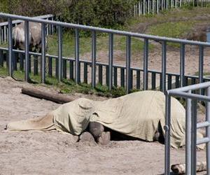 Boy, a 39-year-old Indian elephant lies in his pen covered with a cloth in the Kiev Zoo after he collapsed and died, in this April 26, 2010 file photo.