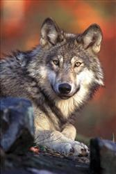 Wolves have split western states into protectors and hunters.