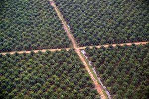 An aerial view of palm oil plantations in Merang , Sumatra.
