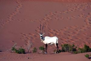 An undated file photo made available by the Abu Dhabi Environment Agency showing an Arabian Oryx walking in the desert after having been released into the area.
