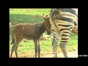 A rare female zebra and male donkey hybrid, known as a donkra or zonkey, has been born at Xiamen Haicang zoo in south east China.