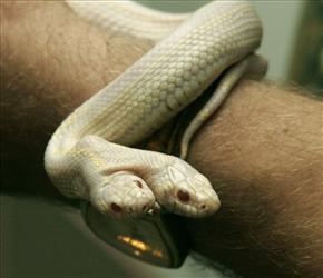 On this photo taken July 8, 2011, a  man  shows a two-headed albino snake in a private zoo in Yalta, Ukraine.