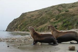 In this Thursday Aug. 4, 2011,  photo, two California sea lions are pictured.
