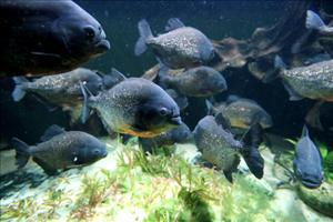 Red-bellied piranhas are up to 14 inches long and have razor-sharp teeth.