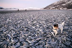 In this image taken Saturday Dec. 31, 2011  Molly the dog walks amongst the dead herring on a beach  at Kvaenes northern Norway.