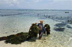 An Indonesian woman brings in harvested seaweed from her farm off the beach in Nusa Dua, Bali, Indonesia.