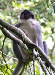 A Miller's Grizzled Langur sits on a tree branch in Wehea forest in eastern Borneo, Indonesia.