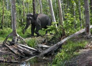 A wild Sumatran elephant is seen roaming the forest in Perawang, Riau province, Indonesia, Thursday, Jan. 12, 2012.