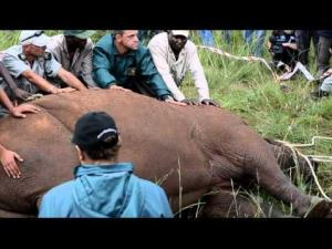 Workers surround Spencer the rhino after he was sedated during an anti-poaching demonstration. He went into seizures and died.