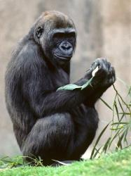 This undated image provided by San Diego Zoo Global shows a female western lowland gorilla named Kamilah, at the San Diego Zoo Safari Park in San Diego, Calif.