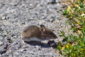 A white-footed mouse.