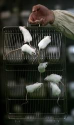 White mice at an animal laboratory of a medical school on February 16, 2008 in Chongqing Municipality, China.