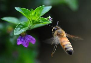A honeybee hovers over a flower in Chitwan National Park near Kathmandu.