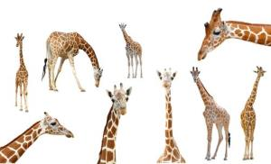Scientists say they can zero in on a giraffe's age by looking at the color of its spots.