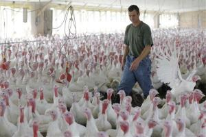A Pennsylvania farmer walks among turkeys being raised without the use of antibiotics.
