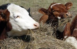 A pair of cows feed on a hay bale in a pasture in East Montpelier, Vt.