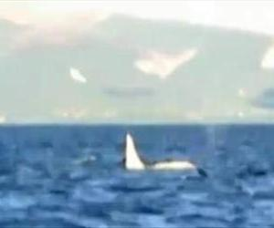 What is believed to be a rare white killer whale is seen in this screenshot from a Far East Russia Orcas Project video.