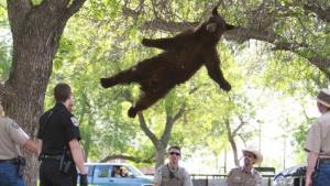 Getting high on campus? Actually, the bear has been shot with a tranquilizer dart and is falling out of a tree onto a mat.