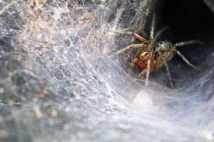 A Funnel Web spider, which resembles the spiders that have swarmed a small Indian town.
